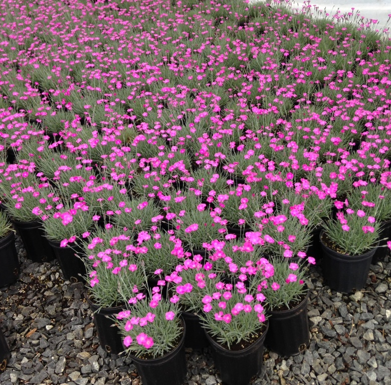Dianthus-tiny-Rubies