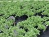 Salvia-Blue-hills-1gal