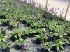 Salvia-May-knight-1gal