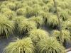 Carex-Evergold