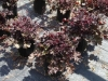 Heuchera-dark-seacret