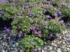geranium-rozzane