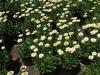 leucanthemum-snow-cap