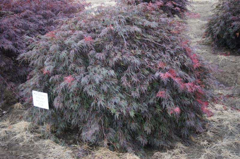 Acer palmatum dissectum 'Red Select'