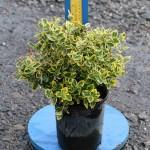 Euonymus-Emerald-N-Gold-1g-5-1-2016