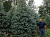 Blue-Spruce-12-14ft