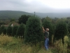 Pine-10-ft