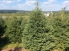 White-Spruce-9-10ft