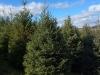 White-spruce-7-8ft