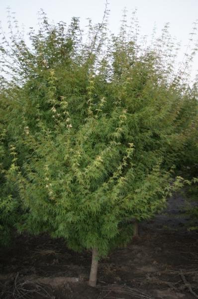 Acer palmatum dissectum 'Seiryu' (1)