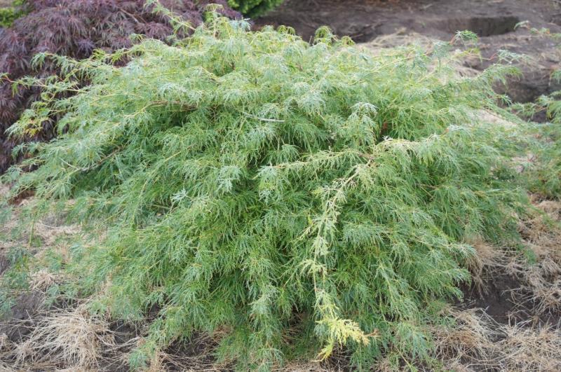 Acer palmatum dissectum 'Viridis' (1)