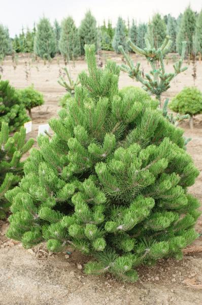 Pinus nigra 'Oregon Green' (2)