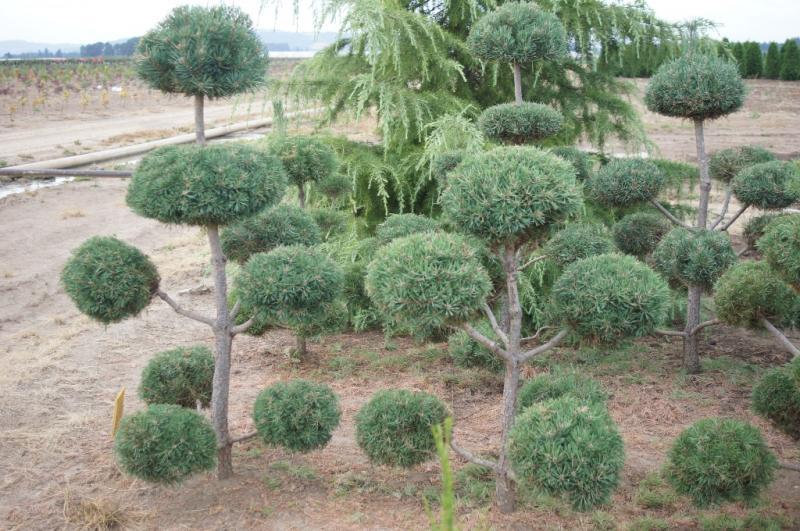 Pinus sylvestris Pom Pom (4)