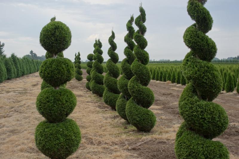 Thuja occidentalis 'Emerald' topiary (1)