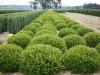 Buxus m 'Winter Gem' (2)