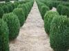Buxus sempervirens 'Suffruticosa' (4)