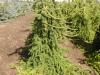 Picea abies 'Pendula' (6)