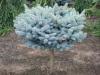 Picea pungens 'Globosa' STD (3)