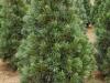 Pinus flexilis 'Vanderwolf's Pyramid' (3)