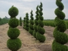 Thuja occidentalis 'Emerald' topiary (1)