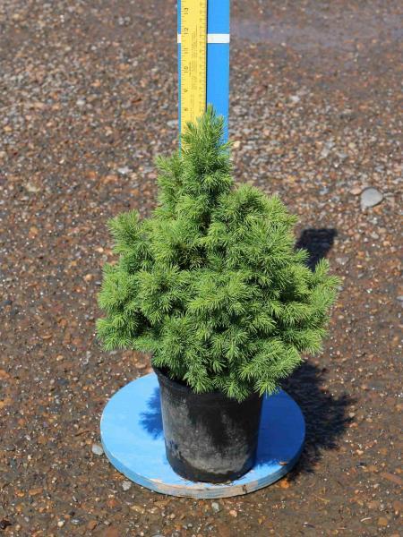 Picea-glauca-conica-1g-4-30-2016